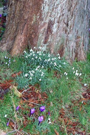 Blooming snowdrops and crocuses along a colourful tree stump in the garden  photo