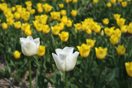 Two white tulips against a background of yellow tulips  Stock Photo - 26283059