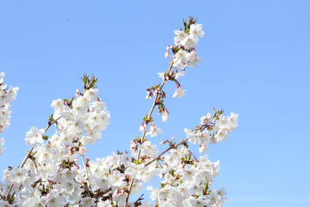 Serene white blossom branches in a blue sky photo