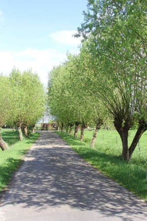 Alleyway with pollard willows in a Dutch polder Stock Photo