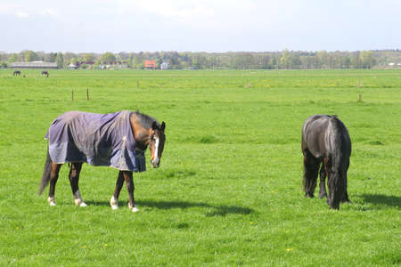 Elderly horses are resting after a life of hard working photo