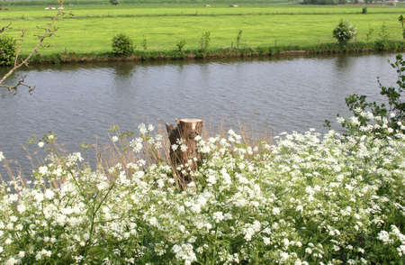 typically dutch: Landscape with cow parsley and the Linge river in the Betuwe, Holland