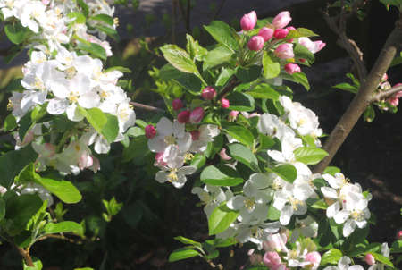 dikes: Apple blossom at the Apple Dike in the Betuwe, Holland