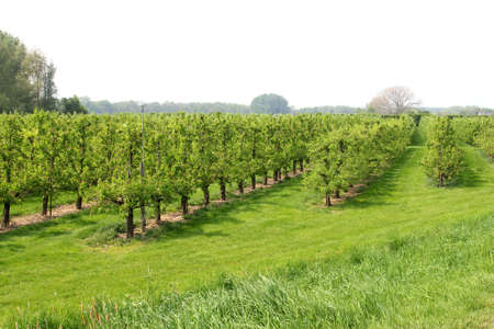 Orchard with fruit trees in the Betuwe, Netherlands photo