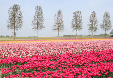 Pink landscape with flowerfields in spring in the Northeast polder, Holland photo
