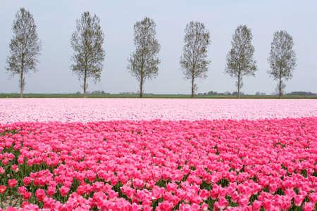 Pink Dutch flowerfields landscape in spring in the Northeast polder, Netherlands photo