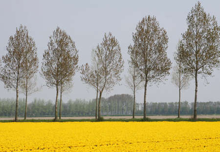 dikes: Yellow Dutch flowerfields landscape in spring in the Northeast polder, Netherlands Stock Photo