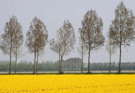 Yellow Dutch flowerfields landscape in spring in the Northeast polder, Netherlands photo