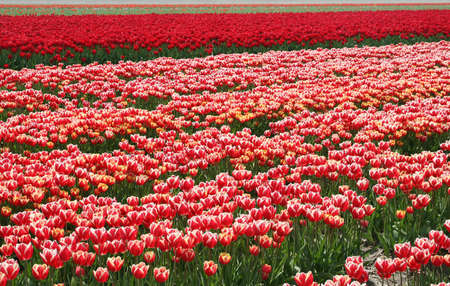 dikes: Tulips along the touristic tulip route in spring in the Northeast polder, Netherlands