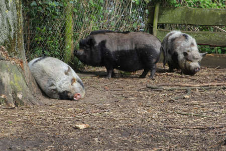 pot bellied: Pot bellied pigs at a farm in Eemnes, Netherlands Stock Photo
