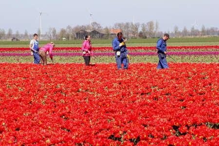 flevoland: Noordoostpolder, Netherlands, april 2015 Male and female workers in the tulip fields in spring in Flevoland