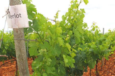 merlot: Vineyard with grapes of Merlot in Spain