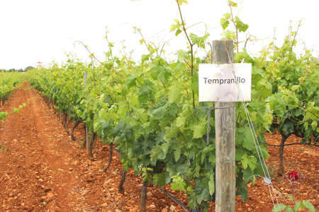 Vineyard or Tempranillo grapes in Spain