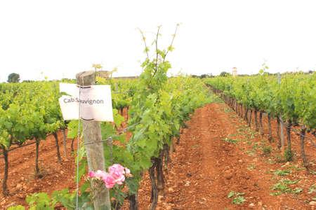 sauvignon: Vineyard with Cabernet Sauvignon grapes