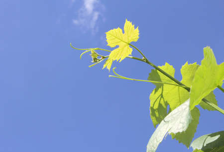 pinot grigio: Young fresh leaves of a grape on a blue sky