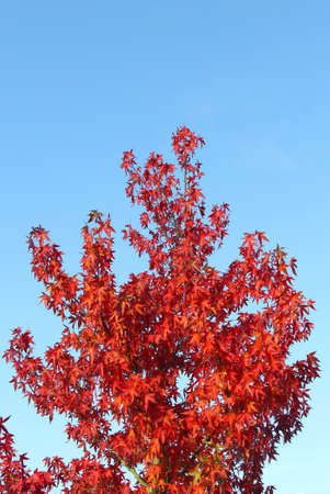 specifies: Red leaves of a tree in a blue sky in autumn