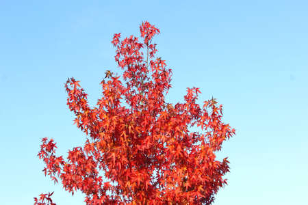 specifies: Branches with red leaves in a blue sky, autumn Stock Photo