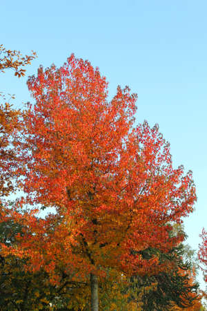 specifies: Colourful tree with red leaves in a blue sky in autumn Stock Photo