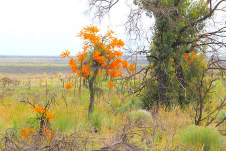 orange blossom: Orange blossom of a blooming Christmas tree, Western Australia