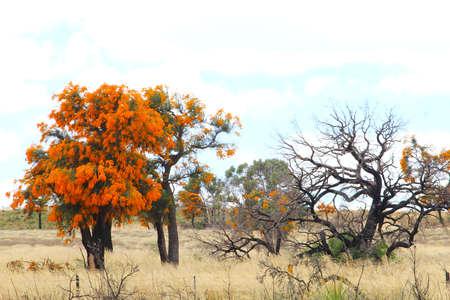 Orange flowers of a blooming Christmas tree, Western Australia Stock Photo