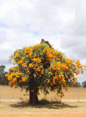 australasia: Orange blooming Christmas tree, Nuytsia floribunda, Western Australia Stock Photo