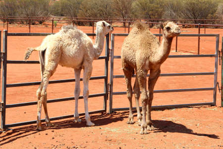 ayers: Couple of young camels in the red desert