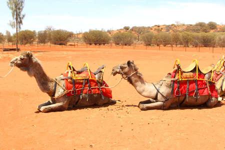 ayers: Camels are waiting for a camel ride at a camel farm in Yulara at Uluru Ayers Rock, Australia
