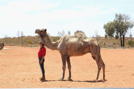 uluru: Yulara, Northern Territory, Australia, December 2015 Love and affection between a female cameleer and a camel at the camel farm Ayers Rock Uluru