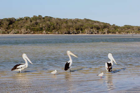western australia: Pelicans and seagulls in the sea at Bremer Bay, Western Australia