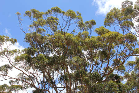 karri: Branches and leaves of Karri trees in a ble sky, Western Australia