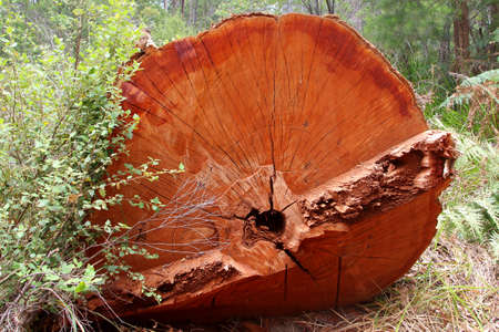 australasia: Trunk of a giant red tingle tree, Western Australia