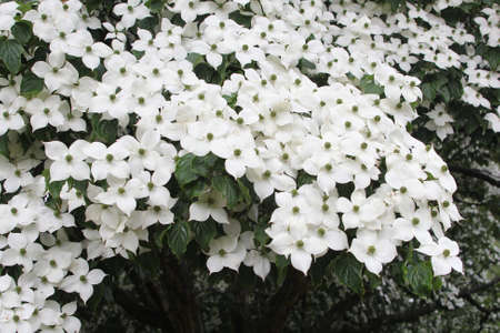 dogwood tree: White blossom of blooming dogwood tree, Cornus Kausa Milky Way