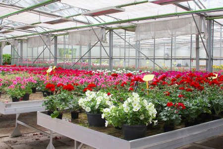 exportation: Cultivation of Petunias and Geraniums in a greenhouse, Netherlands