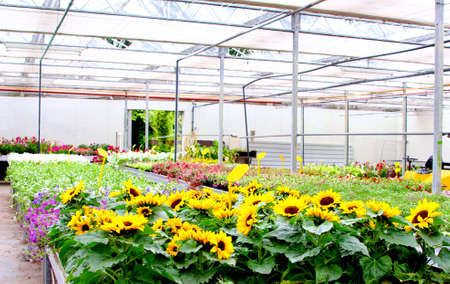 exportation: Sunflowers cultivation in a greenhouse, Netherlands