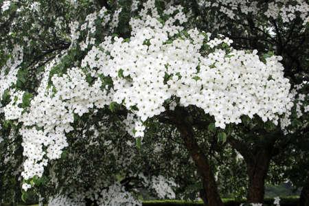 dogwood tree: Blooming Dogwood tree, Cornus Kausa Milky Way