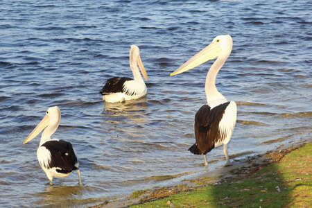 pelicans: Three wild pelicans in the river, Denmark, Western Australia Stock Photo