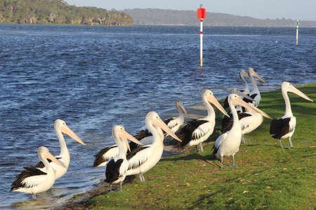 western australia: Group of pelicans at the riverside, Denmark  Albany, Western Australia Stock Photo