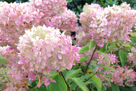 limelight: Pink flowers of Hydrangea paniculata Limelight Stock Photo