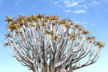 dichotoma: Quiver tree branches blue sky, Namibia Stock Photo