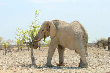 game drive: Elephant is eating fresh green leaves, Etosha, Namibia