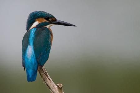 Common Kingfisher Reklamní fotografie