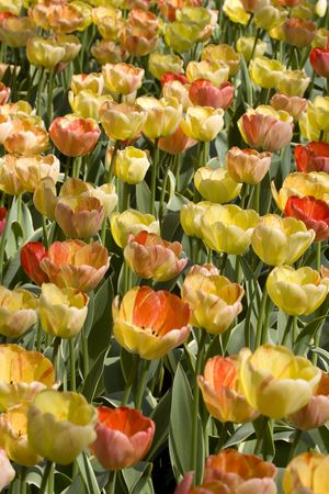 Colorful Dutch Tulips