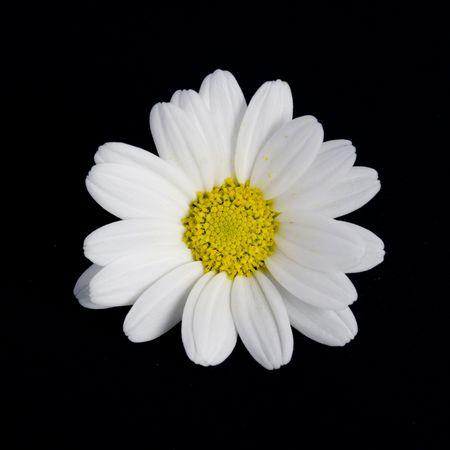 Isolated Daisy Reklamní fotografie