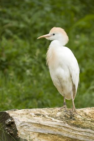 Cattle egret standing on a tree trunk Stock Photo
