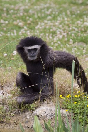 Gibbon monkey sitting in the grass