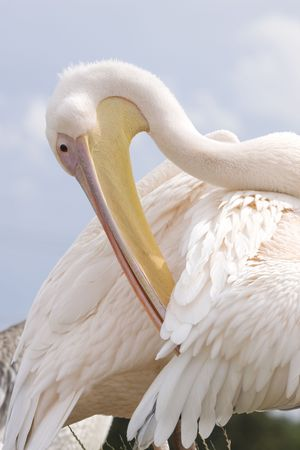 Close-up photo of a preening pelican Stock Photo - 5174823