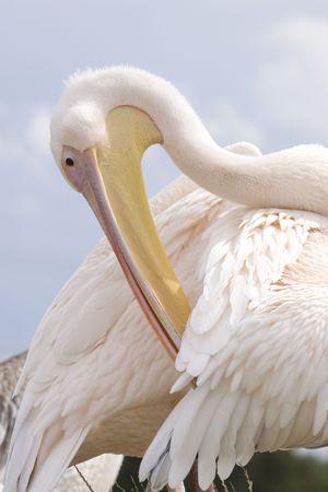 preening: Close-up photo of a preening pelican Stock Photo