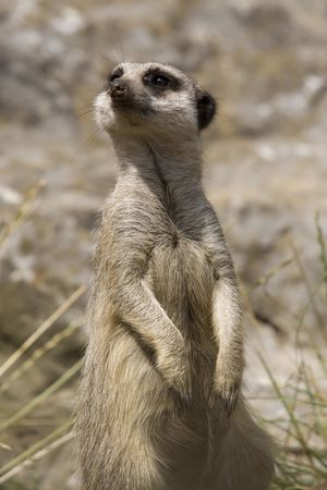 The wellknown pose of a meerkat, standing on its hind legs