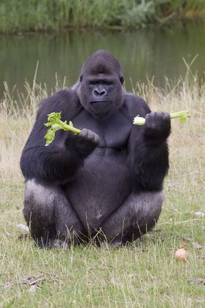 Gorilla eating its afternoon snack at the zoo Stock Photo