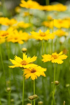 tickseed: Large-Flowered Tickseed Flowers Stock Photo